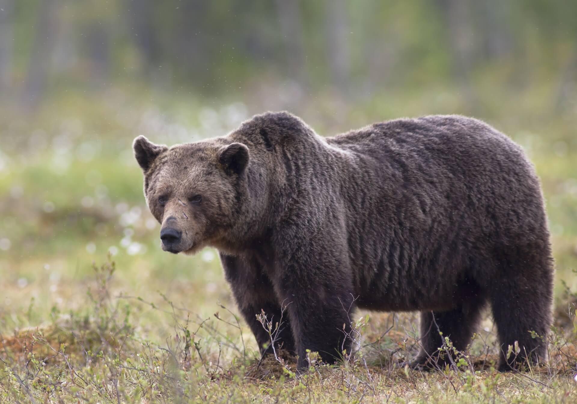 Ours brun dans son milieu naturel